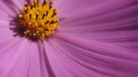Fin pourpre de fleur de cône  Photographie stock libre de droits