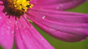 Fin pourpre de fleur de cône  Image stock