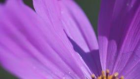 Fin pourpre de fleur de cône  Photo libre de droits