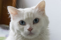 Fin réceptrice blanche du ` s de chat Photos libres de droits