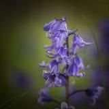 Fin renversante de macro vers le haut de portrait de fleur de Hyacinthoides Hispani Images libres de droits