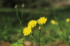Fin repérée de fleur de hawkweed vers le haut de pousse photos libres de droits