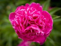 Fin rose de fleur vers le haut images libres de droits