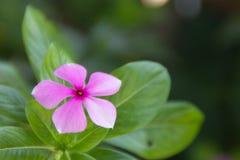 Fin rose de fleur vers le haut Photos libres de droits
