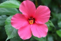 Fin rose de fleur vers le haut Image libre de droits