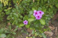Fin rose de fleur vers le haut de vue supérieure Image libre de droits