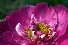 Fin rose de pivoine vers le haut Image stock