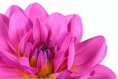 Fin rose fraîche de dahlia vers le haut photographie stock