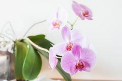 Fin rose rayée de fleur d'orchidée  Images stock