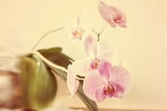 Fin rose rayée de fleur d'orchidée  Photos libres de droits