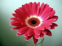 Fin Rouge-Blanche de fleur de Gerbera vers le haut sur le fond vert Photos stock