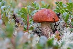 Fin rouge-couverte pittoresque d'aurantiacum de Leccinum de tige de scaber  Entouré avec l'usine blanche de mousse et de canneber photographie stock libre de droits
