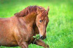 Fin rouge de cheval vers le haut de course de portrait Photographie stock