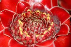 Fin rouge de fleur de gingembre de torche  Photos libres de droits