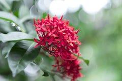 Fin rouge de fleur de transitoire  photos libres de droits