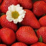 Fin rouge de fond de fraise  Photos stock