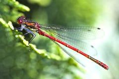 Fin rouge de libellule vers le haut Photo libre de droits