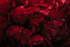 Fin rouge de pivoine vers le haut de macro photos stock