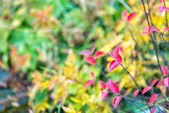 Fin rouge et colorée de branche de feuilles  Le phénomène de couleur de feuille d'automne affecte les feuilles normalement vertes image libre de droits