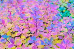 Fin rouge et colorée de branche de feuilles  Saison d'automne Lames d'automne colorées Affects de phénomène de couleur de feuille photos stock