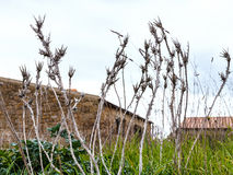 Fin sèche de buisson épineux dans le jardin abandonné Image libre de droits