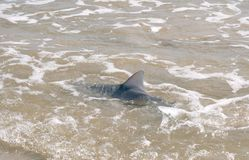 The fin of the shark Carcharhinus is above the surface of the Royalty Free Stock Image