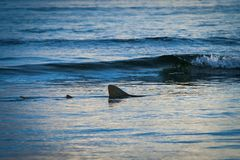 Fin of a shark in the high sea.  Royalty Free Stock Image