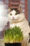 Fin sibérienne de chat vers le haut de portrait sur le rebord de fenêtre Image libre de droits