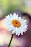 Fin simple blanche de fleur vers le haut de macro tête et pétales de camomille de marguerite avec un fond chaud naturel organique photos libres de droits