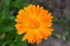 Fin simple de souci de fleur  Images libres de droits
