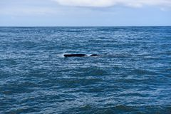 Fin of a Southern Right Whale in the bay of Hermanus in the Indian Ocean. South Africa royalty free stock images