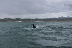Fin of a Southern Right Whale in the bay of Hermanus in the Indian Ocean. South Africa royalty free stock photos