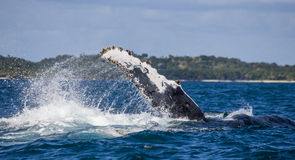 The fin splashing humpback whale. Madagascar. St. Mary`s Island. Royalty Free Stock Images