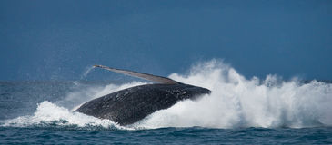 The fin splashing humpback whale. Madagascar. St. Mary`s Island. Stock Photo