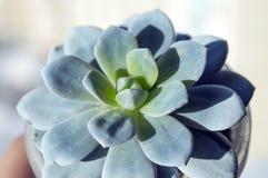 Fin succulente de plante d'intérieur d'echeveria mis en pot  Image stock