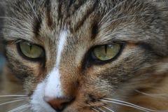 Fin superbe de chat de calicot Image stock