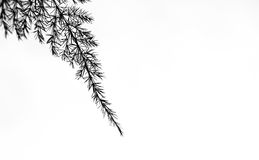 Fin svart sparrisormbunke royaltyfri fotografi