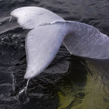 Fin tail of a beluga whale Stock Images