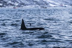 Fin of two Killer whales Tromsø Royalty Free Stock Photography