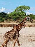 Fin-u de girafe sur le safari de Tarangiri - Ngorongoro images libres de droits