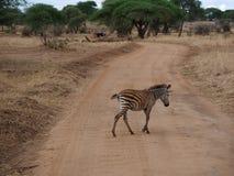 Fin-u de zèbre sur le safari de Tarangiri - Ngorongoro photos libres de droits