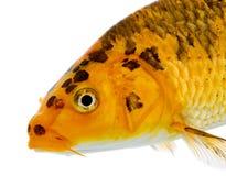 Fin vers le haut d'un goldfish de koi Photo libre de droits
