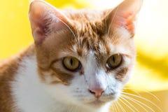 Fin vers le haut de chat aux yeux verts photographie stock