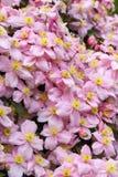 Fin vers le haut de clématite Montana Pink Perfection image stock