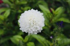 Fin vers le haut de fleur bleue de bel ackgroubd blanc de fleur photo stock