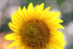 Fin vers le haut de fleur de fleur du soleil dans un jardin botanique au parc avec le fond vert de nature photo libre de droits