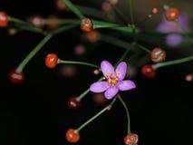 Fin vers le haut de fleur pourpre minuscule avec les bourgeon floraux rouges d'isolement sur le fond noir image libre de droits