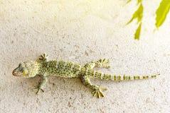 Fin vers le haut de gecko tokay sain de la Thaïlande s'accrocher sur le mur images libres de droits