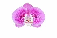 Fin vers le haut de la belle orchidée pourpre d'isolement sur le fond blanc photos libres de droits