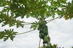 Fin vers le haut de papayer productif grand photos libres de droits